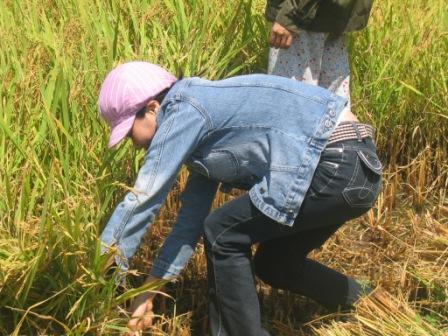 Thuy høster ris