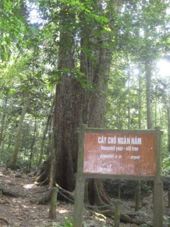 Tusindårig træ